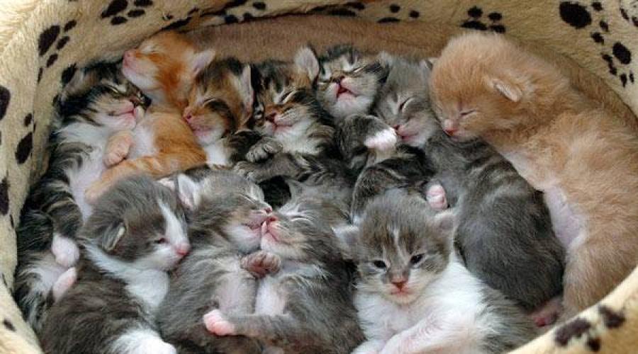 Кошка рожает - сонник. Кошка родила много котят. Толкование снов.  Новорожденные котята по соннику