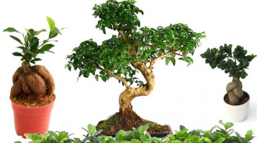 Ficus Microcarpa En Casa Facilidad De Cuidado Y Hermosos Resultados Proteccion Primaveral De Plantas De Jardin Contra Plagas Y Enfermedades