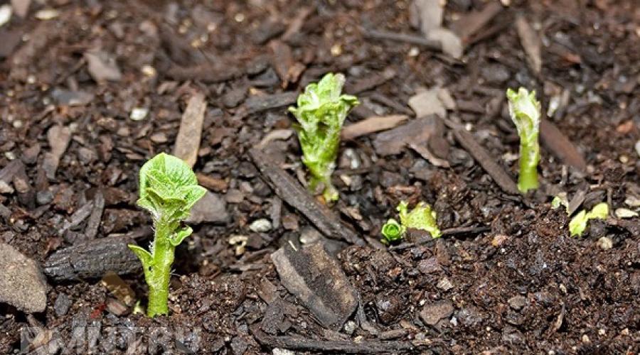 Сонник: что значит во сне картошку сажать? К чему снится садить картошку