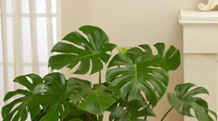 Ciemne Ulubione Kwiaty Kryte Houseplants Ktore Nie Potrzebuja Swiatla Slonecznego Jezyk Sansesyieri Lub Teschin