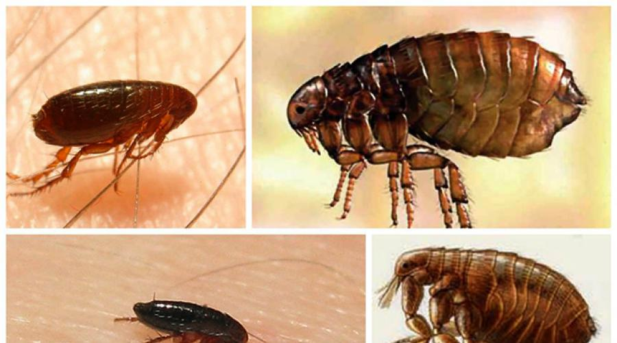 paraziták a lakásban